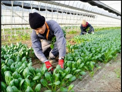 Magang di Jepang Bidang Pertanian Suka Dukanya